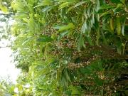 ミミズバイの花