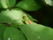 ヤマトフキバッタの幼虫