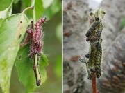 モンクロシャチホコの幼虫