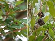イスノキの果実と虫こぶ