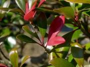 モッコクの紅葉
