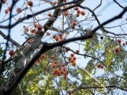 リュウキュウマメガキの果実