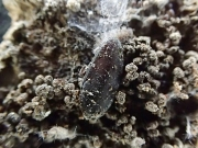 ヒメクダマキモドキの卵