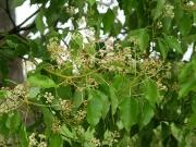 クスノキの花