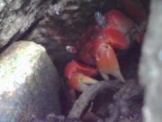 エンドスコープで確認したアカテガニ