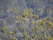 ヤシャブシの花