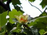 愛知県立時習館高校のユリノキの花