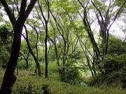 人工林を下るとコナラなどの雑木林に着く