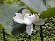 NPO朝倉川育水フォーラムさんのビオトープに咲く大賀ハス