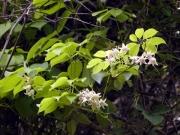 蔵王山中腹のムベの花
