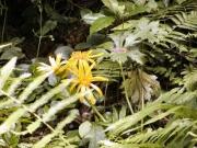 ハンカイソウの花