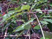 シロダモの花と実