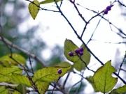 ソフトな葉のヤブムラサキの実
