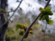 イチョウの花芽と雄花