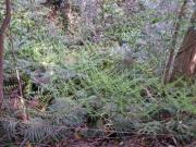 谷間のウラジロの芽だしのようす 先月と比較して見て下さい