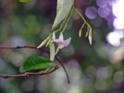 テイカカズラの花