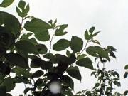 カジノキの特徴的な葉、実も着けていました