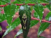 カラスザンショウの葉に宿るカラスアゲハの幼虫