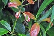 タブの新芽とアオスジアゲハの幼虫(中央)