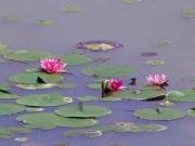 修景池の睡蓮の花。