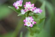 ミゾソバの花