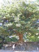 豊橋の巨木 イスノキ