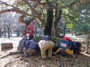 エノキの落ち葉の中のゴマダラチョウの幼虫さがし