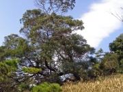 笠山の大木「アカシア」なぜ?