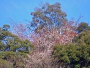 咲き始めたヤマザクラ