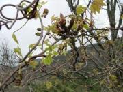 ミツバアケビの雄花
