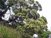 笠山の大木、モリシマアカシアの開花