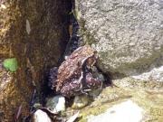 ヤマカガシに噛まれたヒキガエル