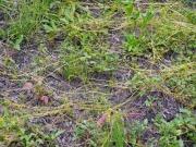 アメリカネナシカズラ(帰化植物)