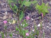アカバナユウゲショウ(帰化植物)
