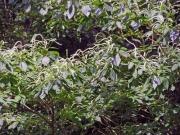 リョウブの花(在来種)