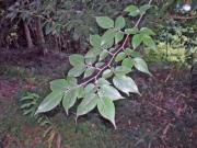 ムクノキの葉