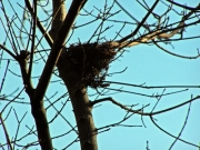 ヒヨドリ?の巣