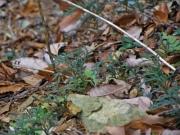 ヒノキの幼樹