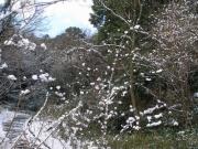 サクラの木の雪帽子