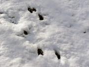 アニマルトラック シカの足跡