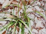 乾いた落葉樹林に咲くシュンランの花芽