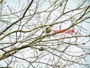こぶ病に罹ったコナラの枝
