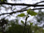 ヤマグワの花芽