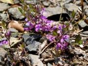 ヒメハギ ヒメハギ科 花の色、形がハギの仲間を思わせます。