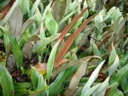 ヒトツバの胞子葉のようす