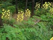 ジャケツイバラの花