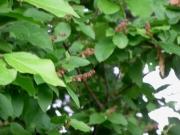 ナツハゼの赤い花