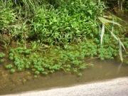豊川放水路に侵入したオオフサモ