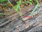 ツボクサ (セリ科)葉の腋に短い柄を出し淡紅紫色の花を着けます