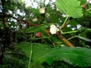 ヤマグワの実、養蚕に不可欠な木です。雌雄異株